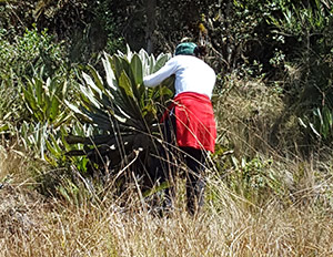 Woman checking an Espeletia plant